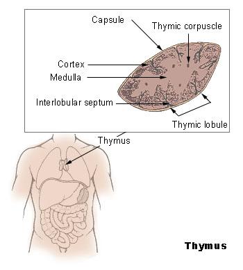 Тимус – особый орган иммунной системы. Он расположен в верхней части грудной клетки.