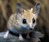 Австралийская сумчатая мышь