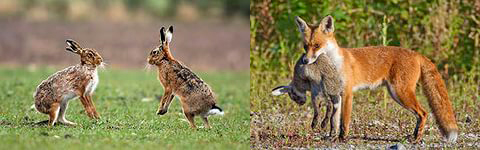 Старение организма позволяет более умному зайцу убежать, тогда как обычный будет съеден