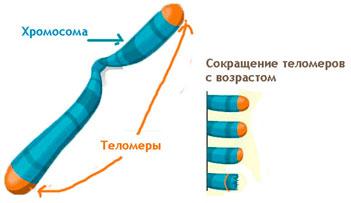 Сокращение длины теломеров не позволяет остановить старение