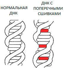 Сшивки молекул не позволяют остановить старение