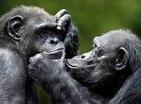 Низкокалорийное питание у шимпанзе