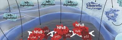 Белки NF-kb и старение человека