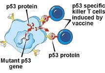 Белок P53, который стимулирует самоуничтожение раковых опухолей.