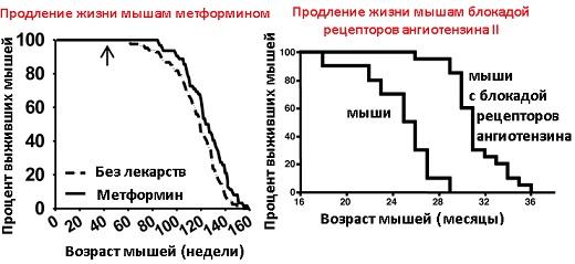 Первый график - самцы мышей c57bl/6 линии (наиболее частые для исследований). Второй график - дикие мыши и мыши с нокаутом гена, кодирующего рецепторы ангиотензина II (AT1A рецепторы)