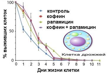 Кофеин  показал способность продлевать хронологическую продолжительность жизни клеток дрожжей