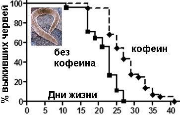 Кофеин увеличивал продолжительность жизни червей