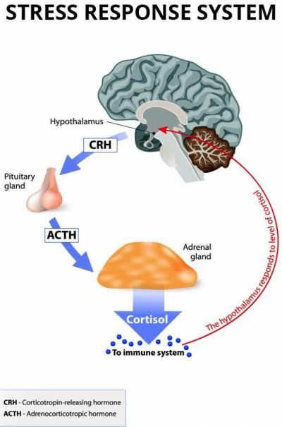 кортизол и простатит